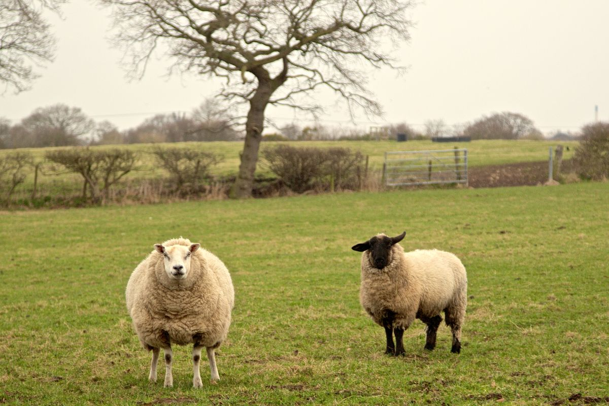 כבשים ולשיות - מס פחמן